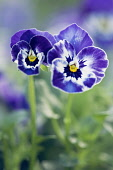 Viola cornuta 'Sorbet XP Delft Blue', One larger and one smaller flower front facing, blue purple with splashes of white.