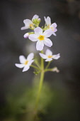Water Violet, Hottonia palustris, A single flowering stem which is used as a Bach flower remedy.