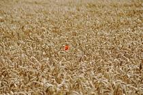 Poppy, Papaver rhoeas, A single red flower of the Field poppy in a field of golden wheat.