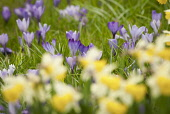 Crocus, Crocus vernus, A spring scene of several purple flowers with minature daffodiils in soft focus in the foreground.