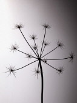 Hogweed, Heracleum sphondylium, Silhouette of skeleton seedhead against a soft, warm colour glow.