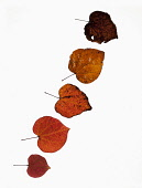 Forest pansy, Cercis canadensis heart shaped autumn leaves, Backlit on white and arranged in a line, with most detiorated ones at the top and the freshest at the bottom.
