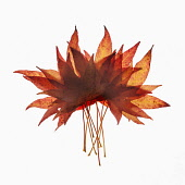 Sweet gum, Liquidambar styraciflua arrangement of autumn leaves overlapping and backlit on white.