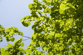 Linden or Lime tree, Tilia x europaea which has just finished flowering. Bright green leaves in sunlight against blue sky.