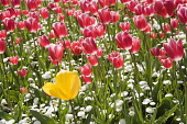 Tulip, Tulipa, with Bellis perennis beneath, Mass of red and white Tulips with one single yellow flower.