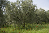 Olive, Olea europea trees growing in a meadow among wildflowers including Field poppy, Papaver rhoeas.