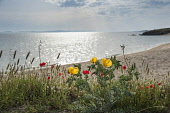 Yellow Horned Poppy, Glaucium flavum, Causican scarlet poppy, Papaver commutatum, Hares tail, Lagurus ovatus and other wildflowers growing along the edge of a beach in Halkidiki, Greece.