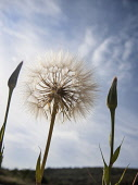 Goat's beard, Tragopogon pratensis seedhead, similar to Dandelion clock, Dramatic close view against blue sky with unopened buds either side.