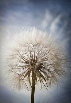 Goat's beard, Tragopogon pratensis seedhead, similar to Dandelion clock, Dramatic close view against blue sky.