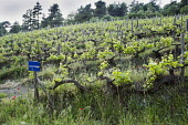 Grapevine, Vitis vinifera, A sloping vineyard with wildflowers growing in among the ancient vines in Halkidiki, Greece.
