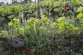 Grapevine, Vitis vinifera, A sloping vineyard with wildflowers growing in among the ancient vines, includung Papver rhoes and Reseda lutea, in Halkidiki, Greece.
