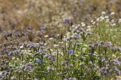 Scorpion Weed, Phacelia tanacetifolia; along with cornflowers and fleabane in an annual meadow style planting.