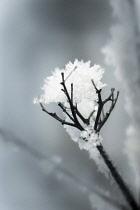 Verbena, Brazilian verbena, Verbena bonariensis skeleton covered with snow.