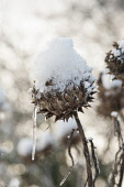 Cardoon, Cynara cardunculus, A winter seedhead topped with melting snow turning into an icicle.