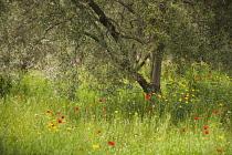 Olive, Olea europea, tree growing in a meadow among wildflowers including Field poppy, Papaver rhoeas.