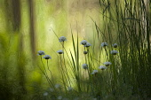 Thrift, Sea thrift, Armeria maritima 'Alba', Several stems of white pom pom flowers amongst tall grass in shade