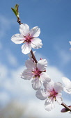 Almond, Prunus dulcis blossom, One twig with three white flowers with pink stamens against blue sky.