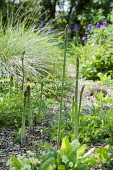 Asparagus, Asparagus officinalis, Several stems at different heights growing in gravel garden among flowers.