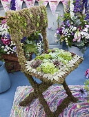 Houseleek:Sempervivum tectorum, Several varieties laid in a pattern on a moss covered chair with Lamb's ears, Stachys bizntina leaves. Part of the RHS Hampton Court flower show 2010 from the Tradition...