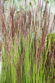 Hornbeam, Feather reed grass, Calamagrostis x acutiflora 'Karl Foerster', Side view of a mass of flowering stems with a ladybird.