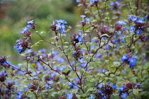Plumbago, Ceratostigma willmottianum, Many stems of multiple blue flowers.