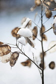 Honesty, Lunaria annua seedheads, with snow on them.