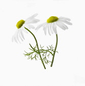 Chamomile, Chamaemelum nobile, Side view of two flowers, one sharp focus, one soft and some leaves, Cut out on white.