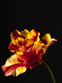 Tulip, Parrot tulip, Tulipa 'Flaming parrot', Side view of one red, orange and yellow fringed tulip.