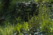 Fern, Hart's tongue fern, Asplenium scolopendrium with shuttlecock fern, Matteuccia struthiopteris and others, unfurling in spring, in a garden with natural dry stone wall.
