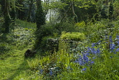 Bluebell, English bluebell, Hyacinthoides non-scripta with Hart's tongue fern, Asplenium scolopendrium, shuttlecock fern, Matteuccia struthiopteris and others, emerging in spring, in an enchanting woo...
