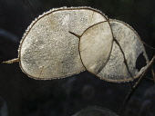 Honesty, Lunaria annua,Two frosted transluscent silvery discs of the seedhead illuminated with backlight against a dark background.