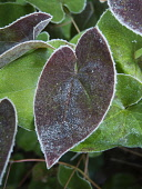 Epimedium, Epimedium x versicolor 'Sulphureum', Winter frosted foliage with a dark heart shaped red leaf contrasting older green ones behind.