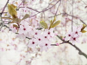 Cherry plum, Prunus cerasifera 'Nigra', Front view of a twig with pale pink blossom and bronze leaves with others soft focus behind, forming a pattern againt a white background.