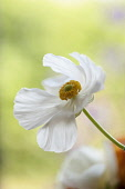 Ranunculus, Persian ranunculus, a white simple Ranunculus asiaticus cultivar, The flower is fully open showing a ring of yellow stamen.