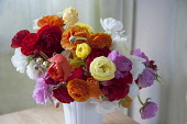Ranunculus, Persian ranunculus, Ranunculus asiaticus cultivar, A loose arrangement of a bunch of mixed colours including red, orange, pink, white and yellow flowers and buds, in a white vase.