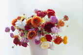 Ranunculus, Persian ranunculus, Ranunculus asiaticus cultivar, A chaotic loose arrangement of a bunch of mixed colours including red, orange, pink, white and yellow flowers and buds, in a white vase.