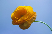 Ranunculus, Persian ranunculus, a double petalled orange Ranunculus asiaticus cultivar, Front view showing yellow stamens and a curved stem.