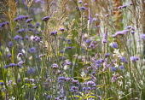 Verbena, Brazilian verbena, Purple top, Verbena bonariensis, with Veronicastrum, Calamagrostis x acutiflora 'Karl Foerster' and Gaura, all tall plants in a late summer prairie style planted mixed bord...