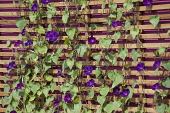 Morning glory, Ipomoea purpurea, Purple flowered climber with heart shaped leaves. Climbing up a contemporary wooden trellis against a bright pink wall. 'Part of Control the Uncontrollable' garden by...