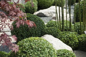 Box, Common Box, Buxus sempervirens, A japanese style planting of box balls with bamboo and Acer palmatum among rocks, part of 'Virtual reality garden' by Bruce Waldock at Hampton Court Palace Flower...