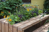 Nasturtium, Tropaeolum majus 'Alaska Salmon orange' with with other herbs, including flowering rocket and parsley, purple sage and heartsease planted along the centre of a contemporary wooden planked...