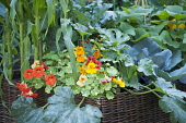 Nasturtium, Tropaeolum majus 'Alaska Salmon orange' and 'Alaska scarlet' with courgette and sweetcorn plants in a basket planter. Hampton Court Flower show 2011, Burgon and Ball '5-a-day garden' desig...