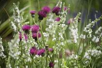 Cirsium, Plume thistle, Cirsium rivulare 'Atropurpureum', Side view of purple red fluffy thistles intermingled with white lavender.
