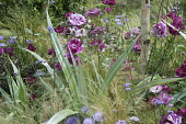 Rose, Rosa 'Burgundy and Ice' and Silver spear, Astelia chathamica, amongst Mexican feather grass, Stipa tenuissima. Part of The Stone Roses garden by Greenes of Sussex, Hampton Court Flower show 2011...