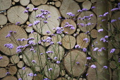 Verbena, Brazilian verbena, Purple top, Verbena bonariensis in front of a wall of stacked cut logs. Part of Wild in the City garden designed by Charlotte Murrell, Hampton Court flower show 2011.