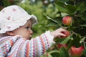 Apple, Malus domestica 'Discovery', Close view of a baby in a patterned cardigan and white sunhat picking a red apple growing in a tree.