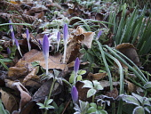 Crocus, Early crocus, Crocus tommasinianus, Low view of frosted  lilac purple buds emerging from dead leaves.