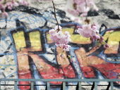 Cherry blossom, Prunus, A twig of pale pink blossom hanging in front of colourful graffitti in Whitechapel, London, UK.