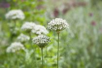 Allium, Black garlic, Allium nigrum, Side view of several flowerheads of white flowers, two in focus.
