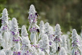 Lambs' ears, Stachys byzantina, Side view of several spires of this soft fluffy plant with silver foliage and buds and small pink purple flowers and three bumblebees collecting nectar from a flower.